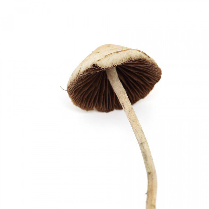 psilocybin mushrooms